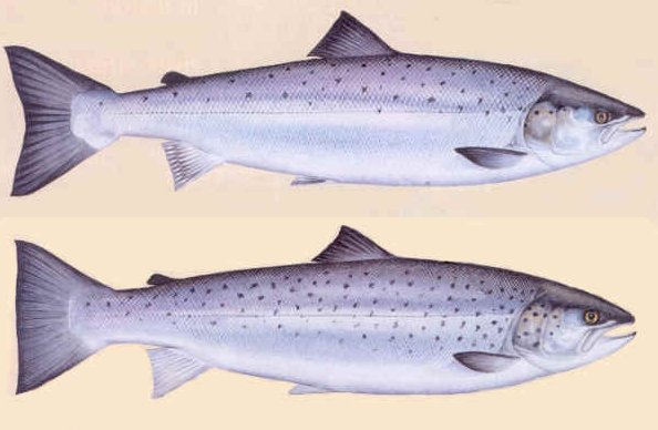 fishid